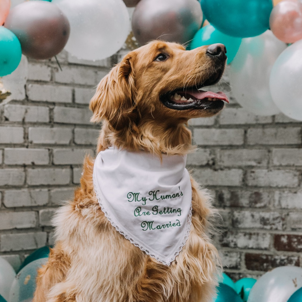 """A dog wearing a bandana that reads """"My human's are getting married."""""""
